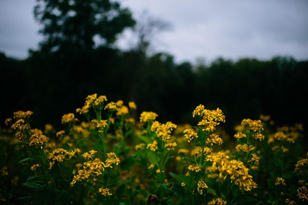 goldenrod flowers benedict haid farm wedding