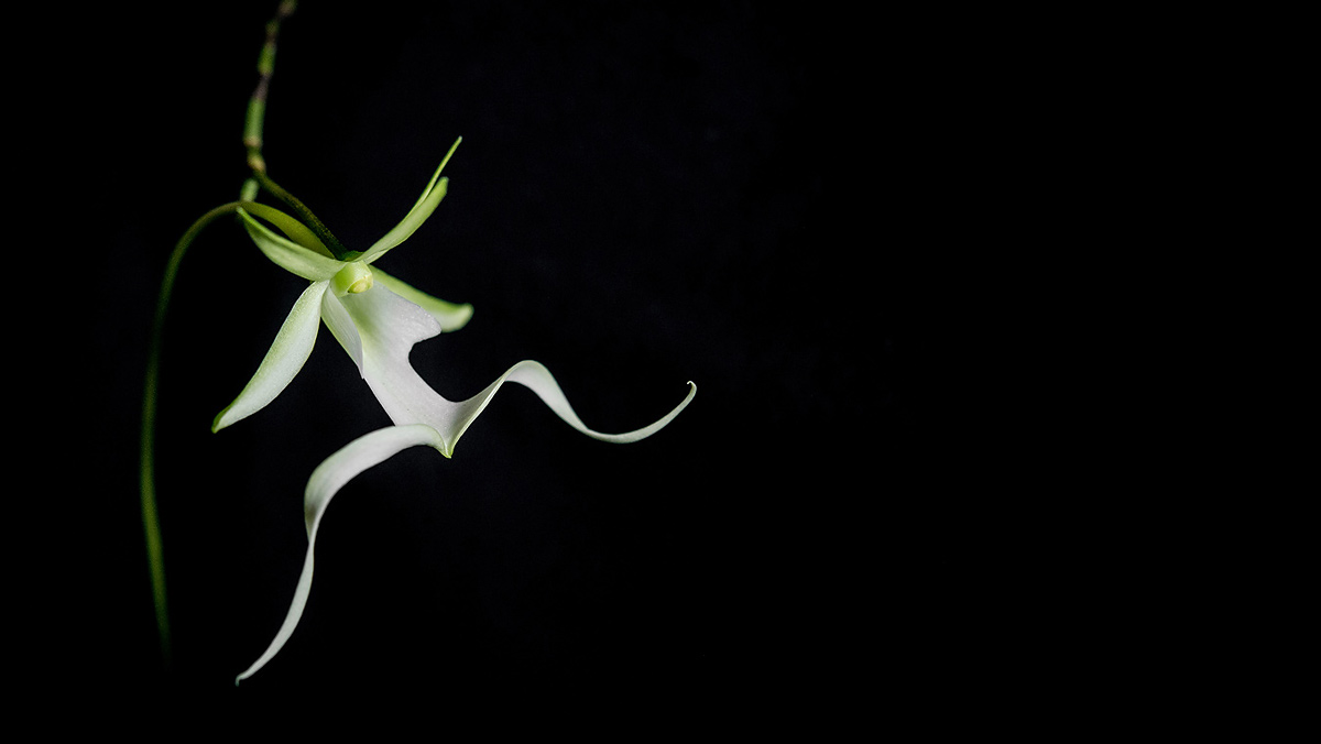 rare ghost orchid charleston wv
