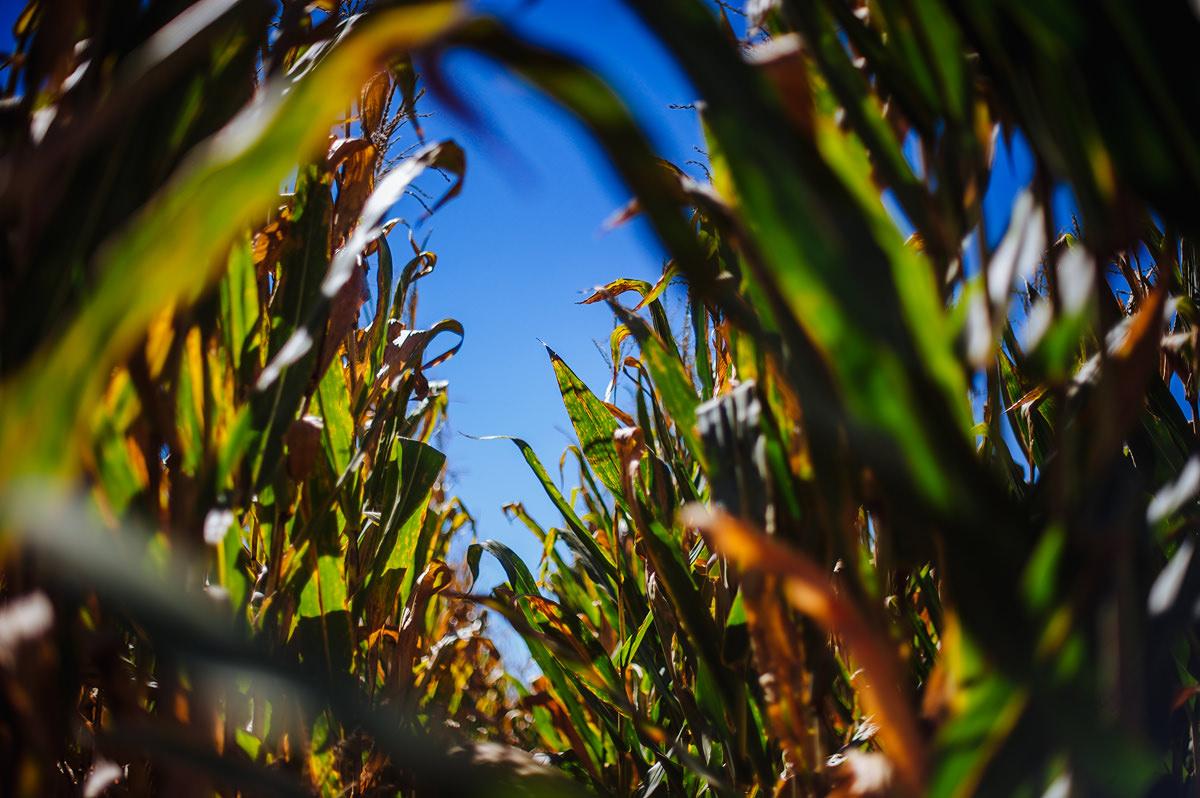 weddings near corn fields