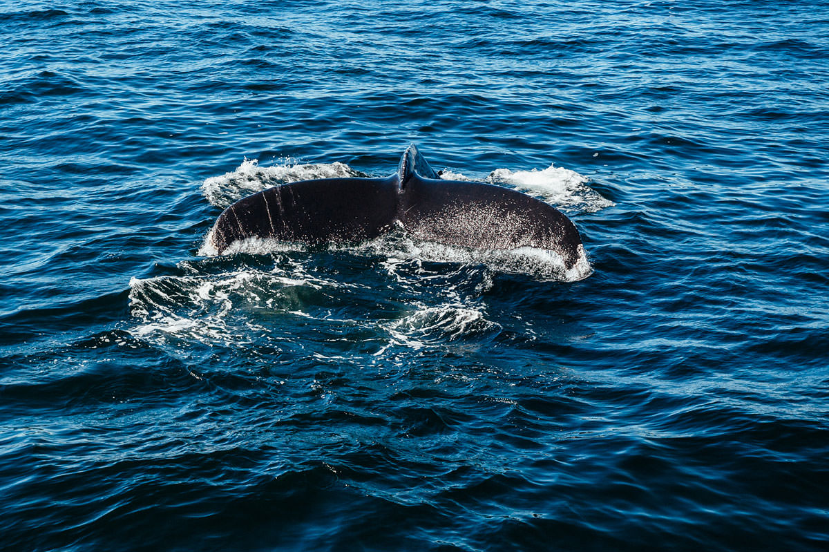 hyannis whale watcher cruise humpback whale barnacle fin