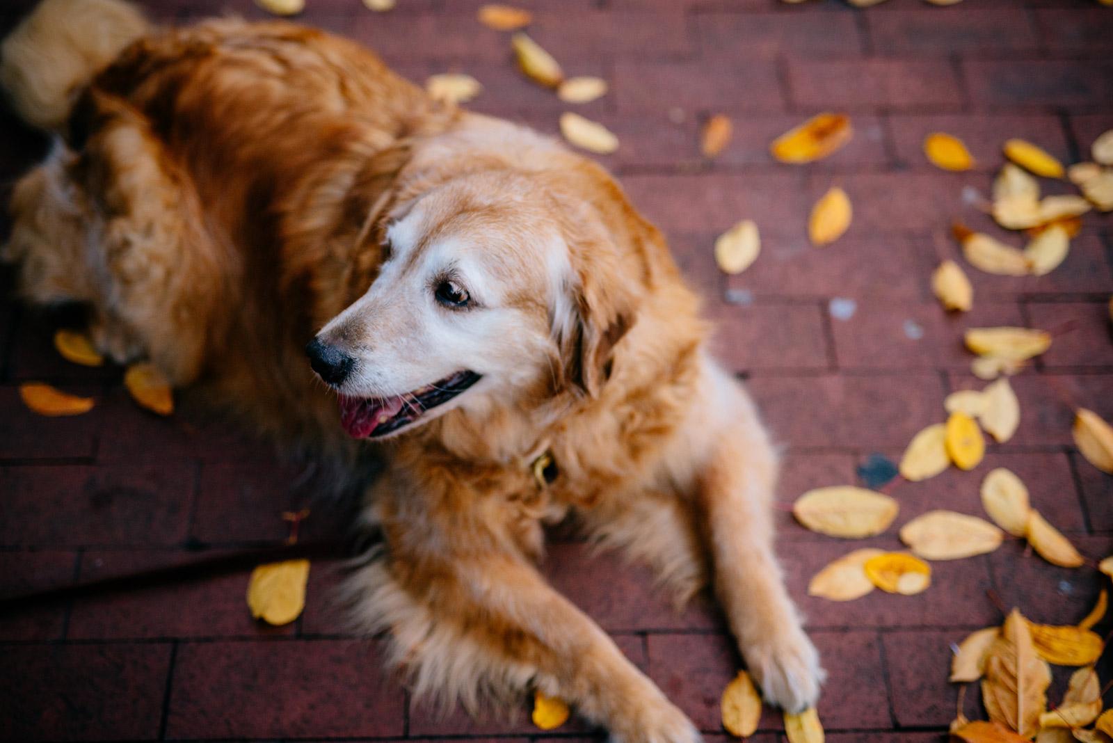 golden retriever dog resting on autumn leaves downtown charleston wv