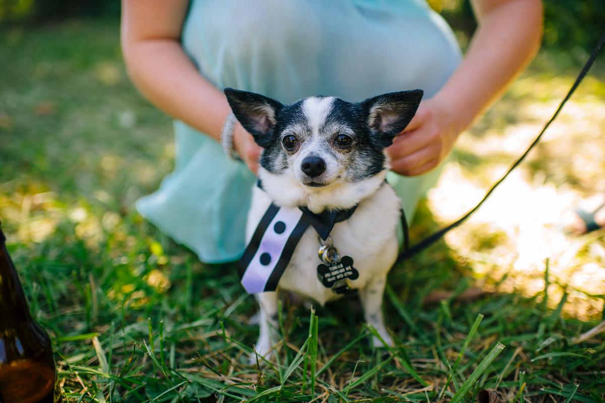 cute chihuaha at wedding tux collar