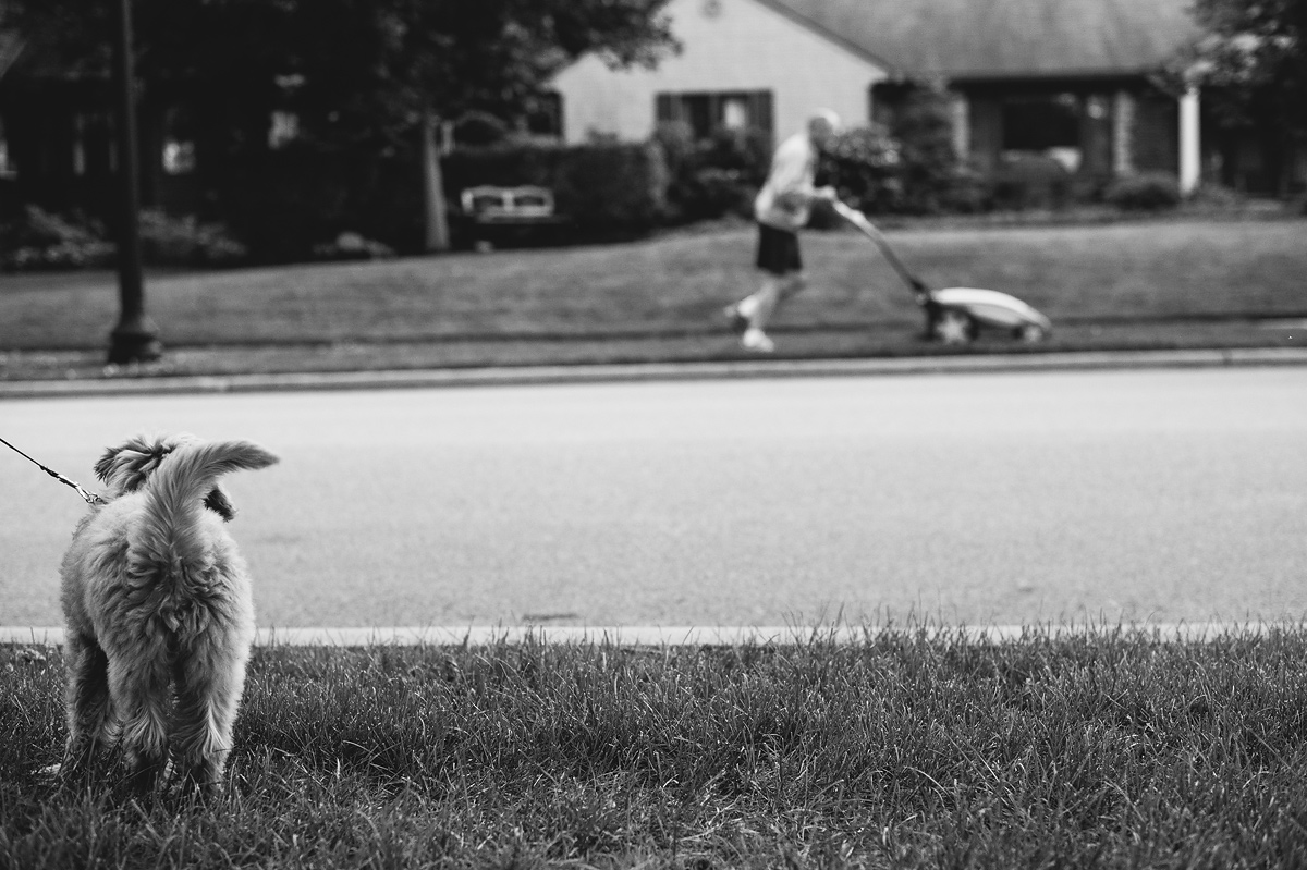 mini goldendoodle watches man mow lawn