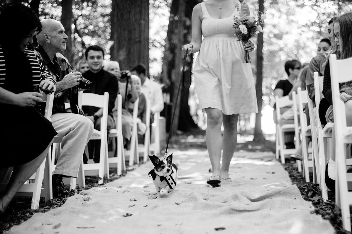 chihuaha at wedding ceremony