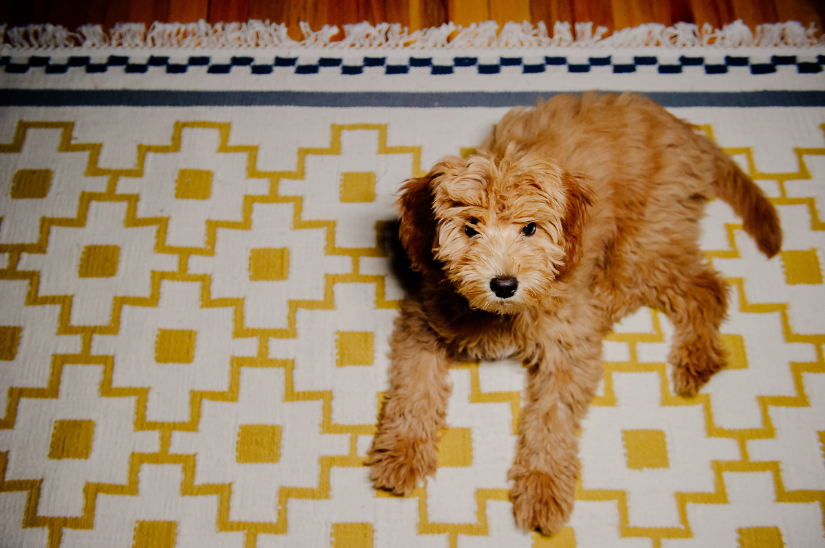 adorable mini goldendoodle at home