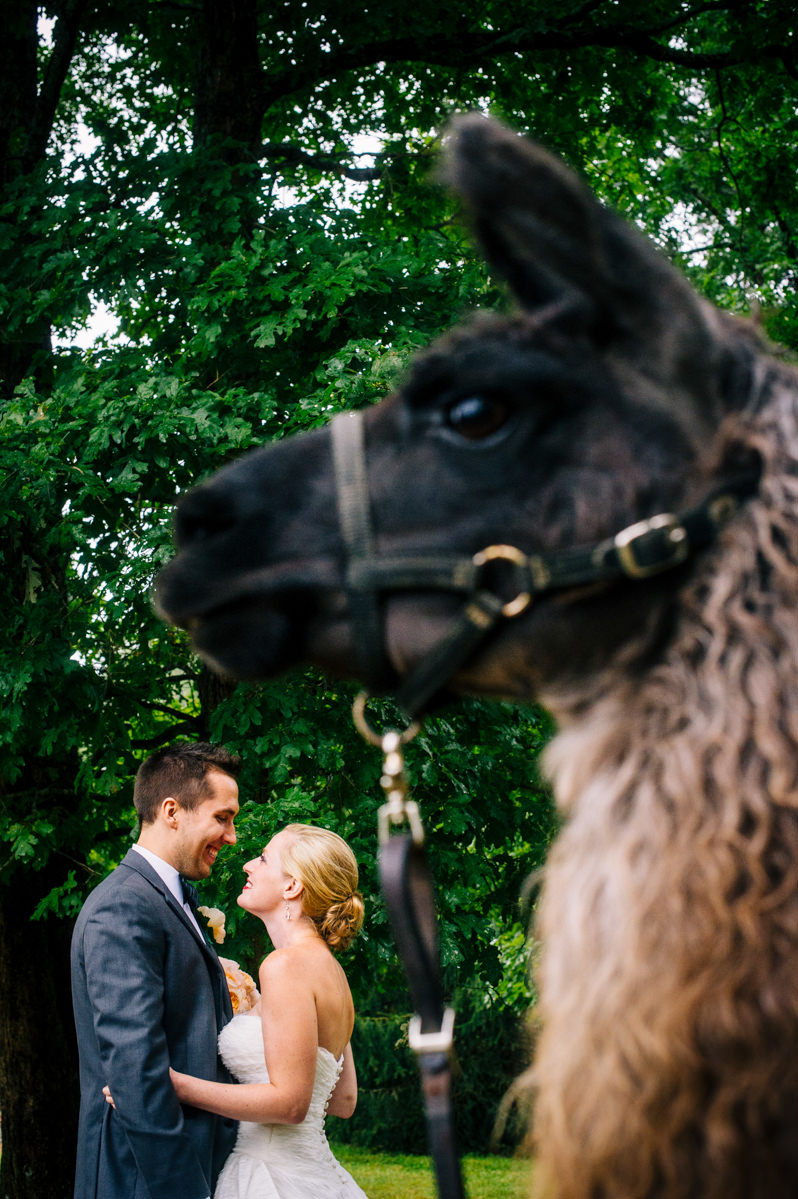 bride and groom with llama