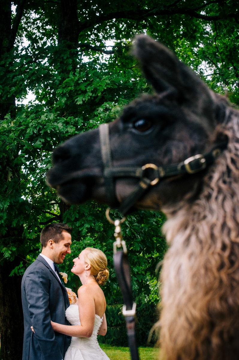 bride and groom with llama