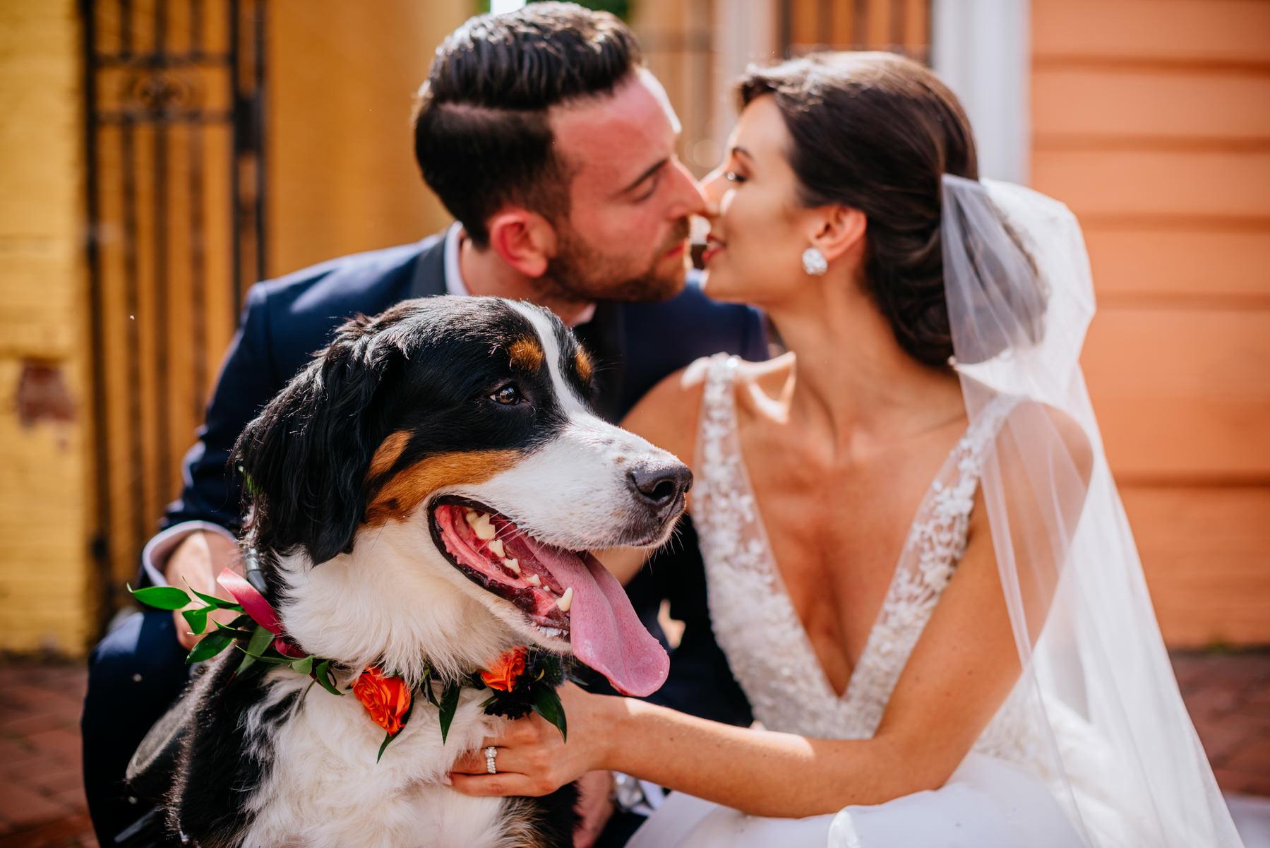 bernese mountain dog at wedding